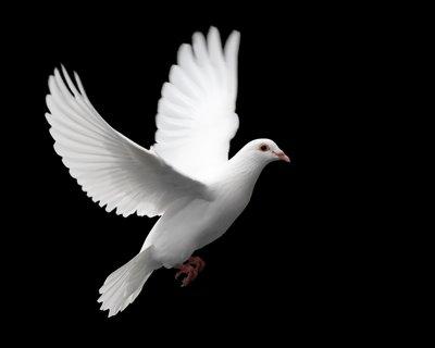 20100907145429-bigstockphoto-white-dove-in-flight-976408