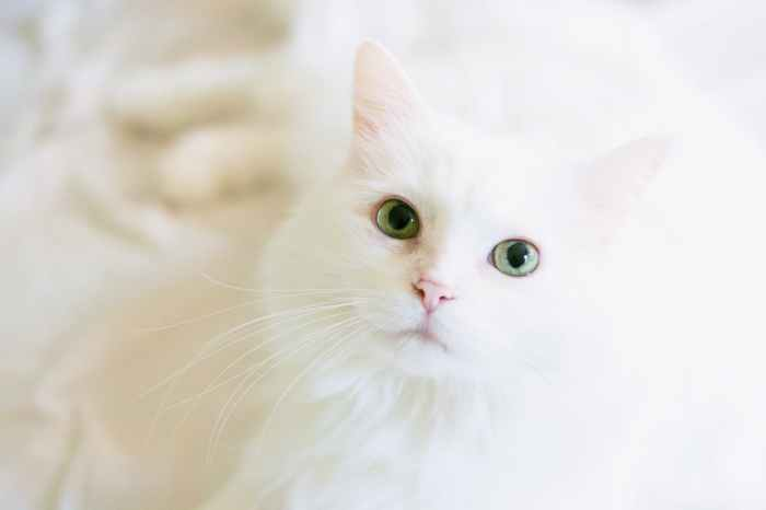 long fur white cat
