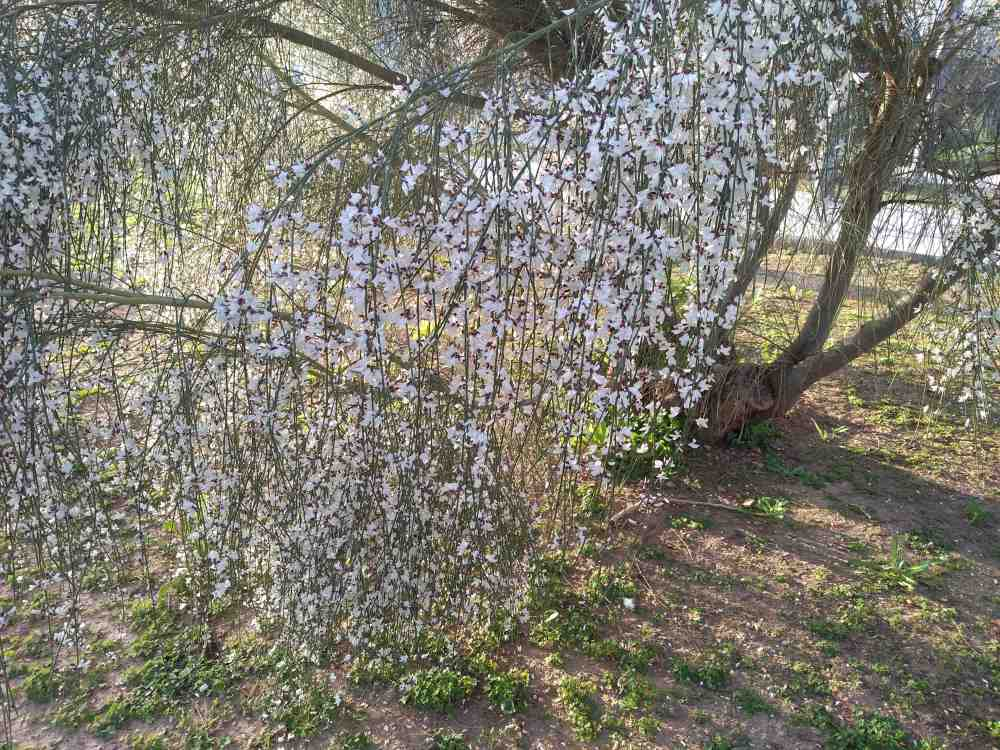 flores-cortina