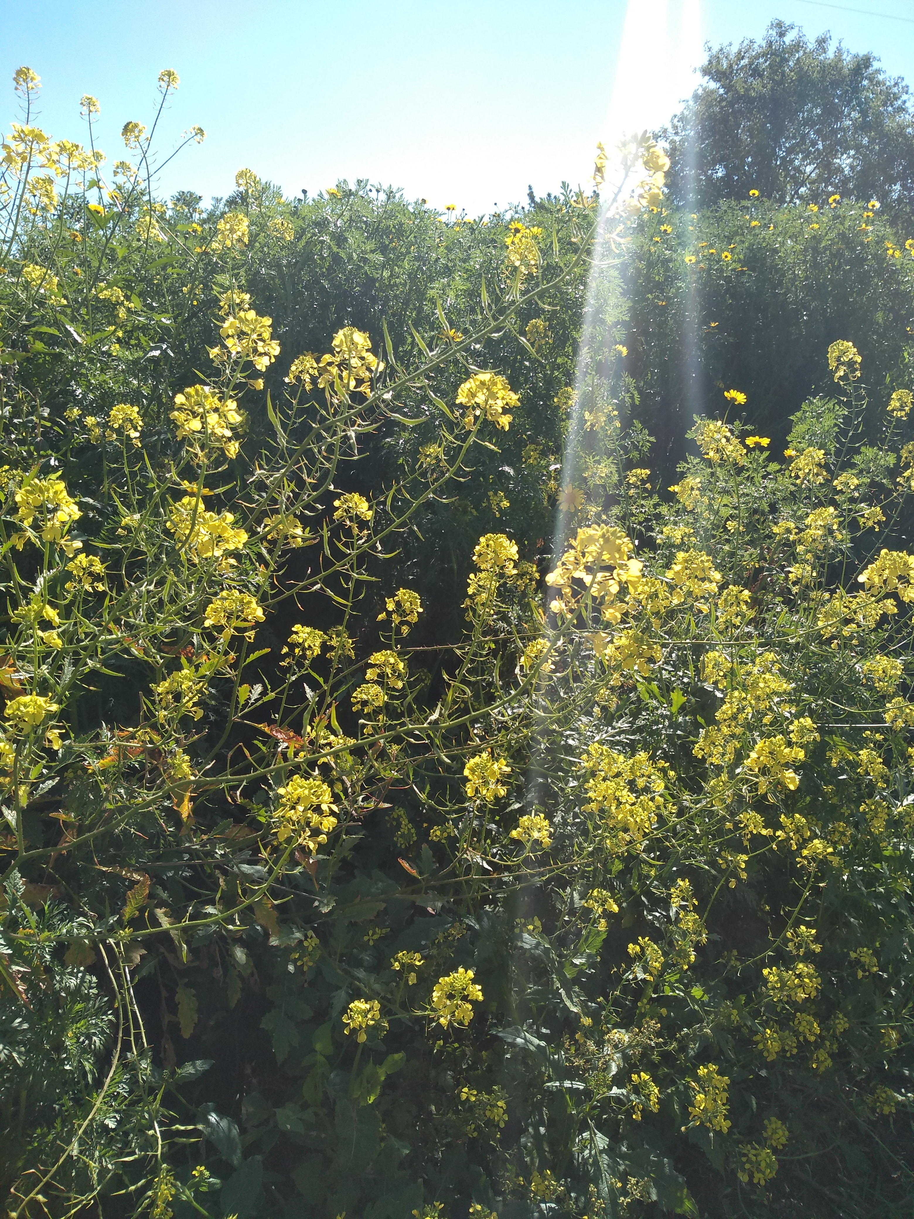 Yellow flowers - Mallorca
