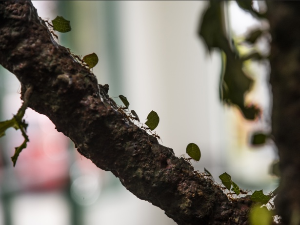 leaf-cutting-ants-carrying-leaves